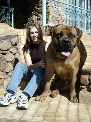 scribebem: largest dog in world